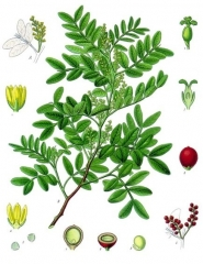 Pistacia_lentiscus_-_Köhler–s_Medizinal-Pflanzen-110.jpg