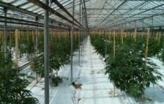 Cannabis-300x190.jpg