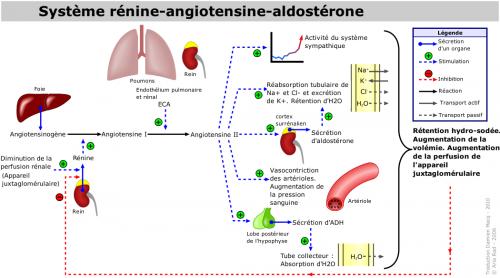 Systeme_renine-angiotensine-aldosterone.png